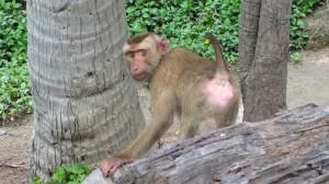 Najznamejsia opica na Phangane