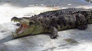 Krokodilia farma